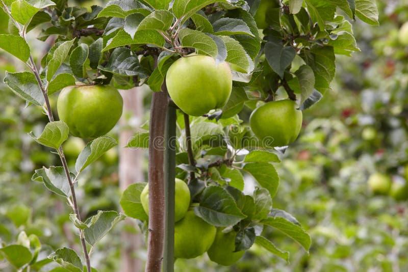 Grön äppledetalj på ett träd Trädgårdsnäringbakgrund Agricult royaltyfri foto
