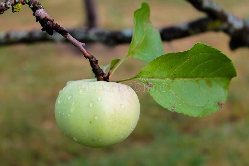 Grön äpplefrukt som hänger på en trädfilial royaltyfri bild