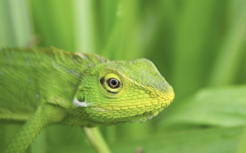 Grön ödla arkivbild