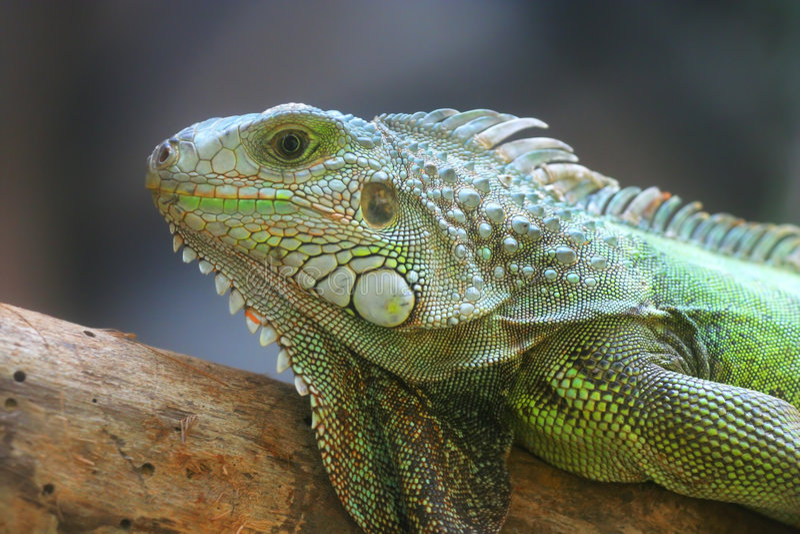 grön ödla för detalj royaltyfri foto