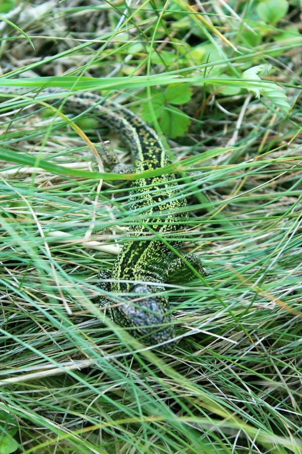 Grön ödla i gräset royaltyfria bilder