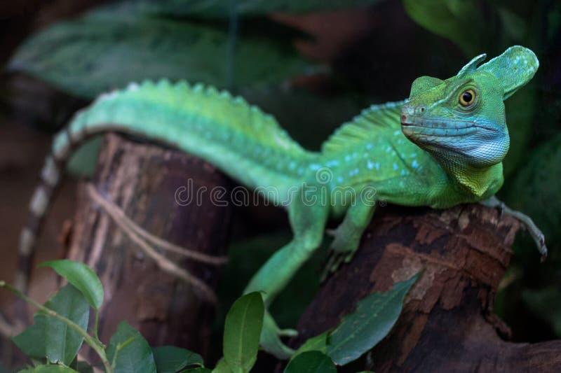 Grön ödla - grön ödla med ett anseende för lång svans på ett stycke av trä fotografering för bildbyråer