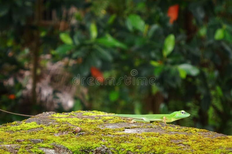 Grön ödla på den gröna landbakgrundstapeten arkivbild