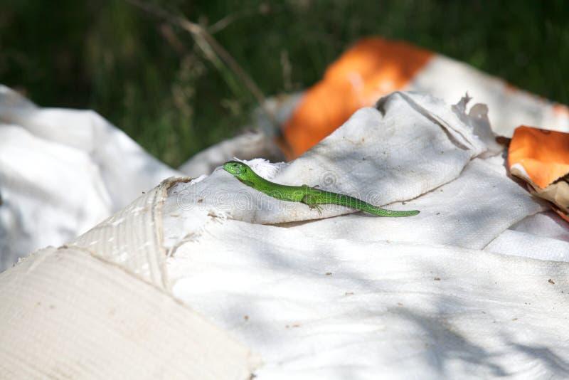 Grön ödla som sitter på den vita påsen arkivfoton