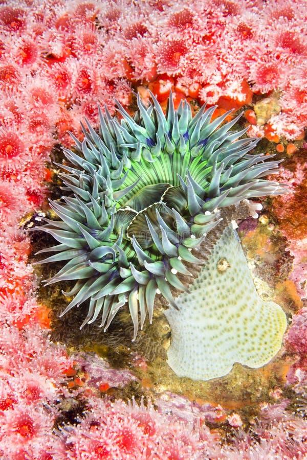 Grön anemon royaltyfri fotografi