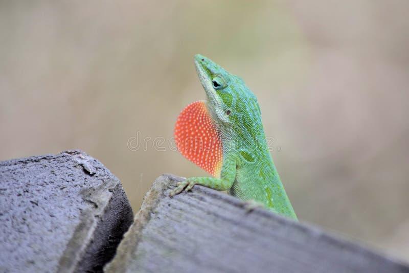 Grön Anole ödla med den visade röda halsen fotografering för bildbyråer