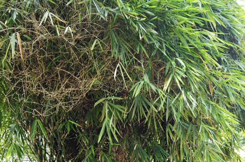 Grön asiatisk bambu fotografering för bildbyråer