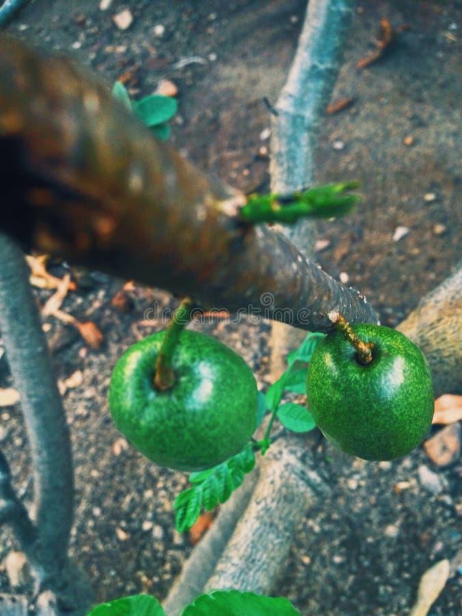 Grön avokadofrukt fotografering för bildbyråer