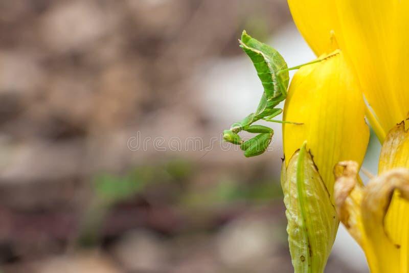 Grön bönsyrsa på den gula blomman royaltyfria foton