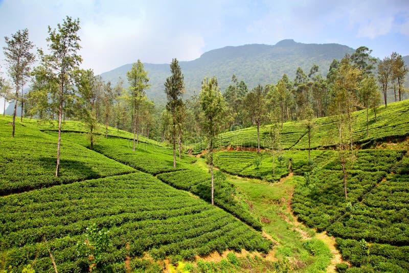 Grön backe av tekolonierna i Ella Sri Lanka arkivbild