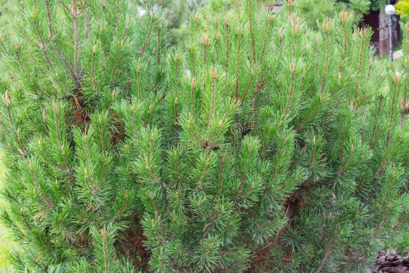 Grön bakgrund av det prydliga trädet som har mycket fritt utrymme arkivfoto