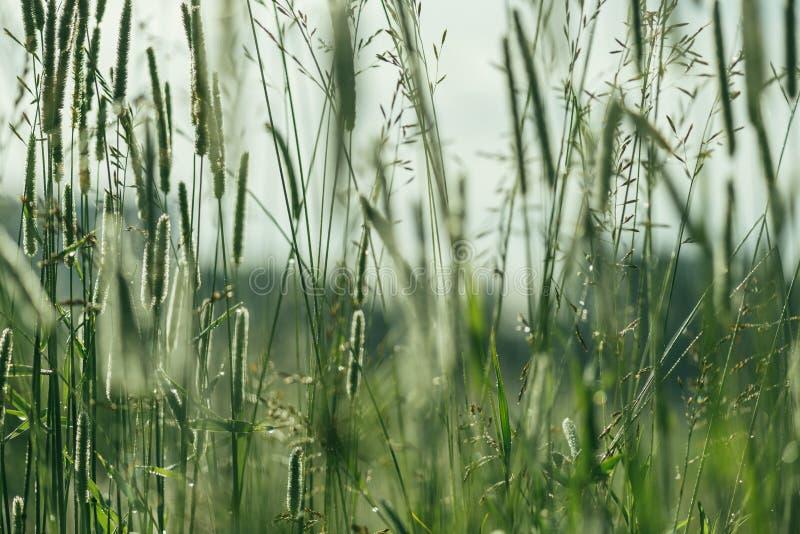 Grön bakgrund av grova spikar av grönt gräs i droppar av dagg Solen för ottan för naturvårtemat tände Selektivt fokusera fotografering för bildbyråer