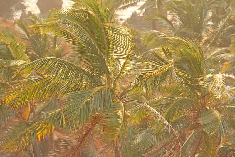 Grön bakgrund av palmträd exotiskt tropiskt för bakgrund palm arkivbilder