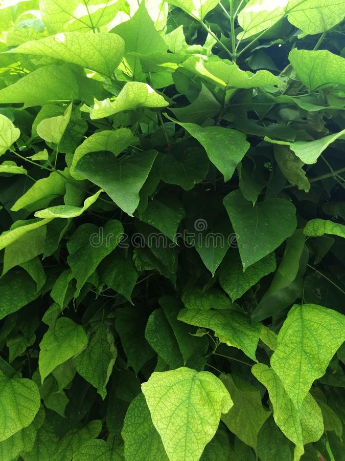 Grön bakgrund av stora sidor av ett dekorativt träd arkivbilder