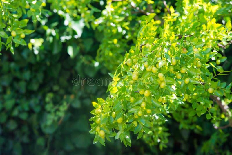 Grön bakgrund av verkliga filialer av jujubejujuben, kinesiskt datum, capiinit, jojoba, lat I processjujubaen Det sommar för ` s royaltyfri bild