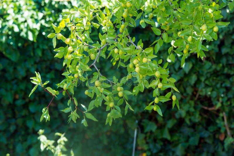 Grön bakgrund av verkliga filialer av jujubejujuben, kinesiskt datum, capiinit, jojoba, lat I processjujubaen Det sommar för ` s royaltyfri foto