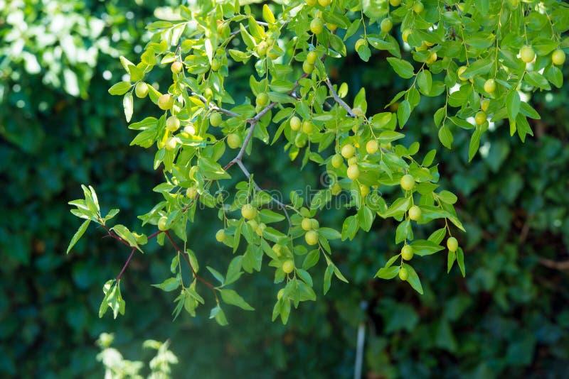 Grön bakgrund av verkliga filialer av jujubejujuben, kinesiskt datum, capiinit, jojoba, lat I processjujubaen Det sommar för ` s fotografering för bildbyråer