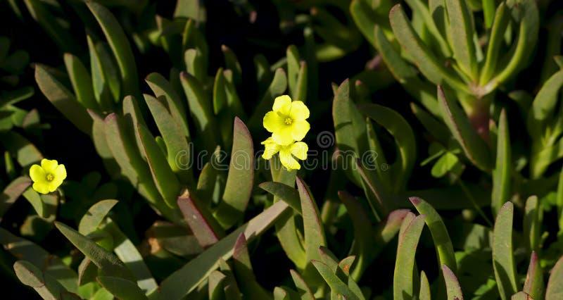 Grön bakgrund av yttersidan av forsarna av suckulenta grässidor med en liten gul blomma i mitten exponerad av th fotografering för bildbyråer
