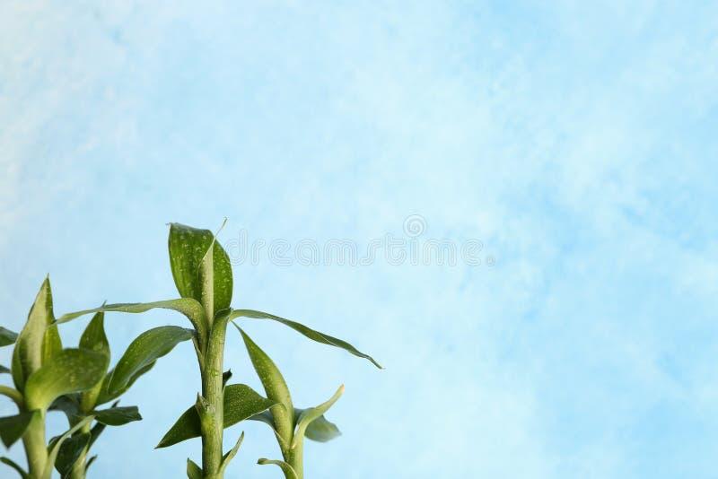 Grön bambuväxt med tjänstledigheter arkivbilder
