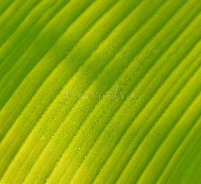 Download Grön bananleaf fotografering för bildbyråer. Bild av linjer - 27276673