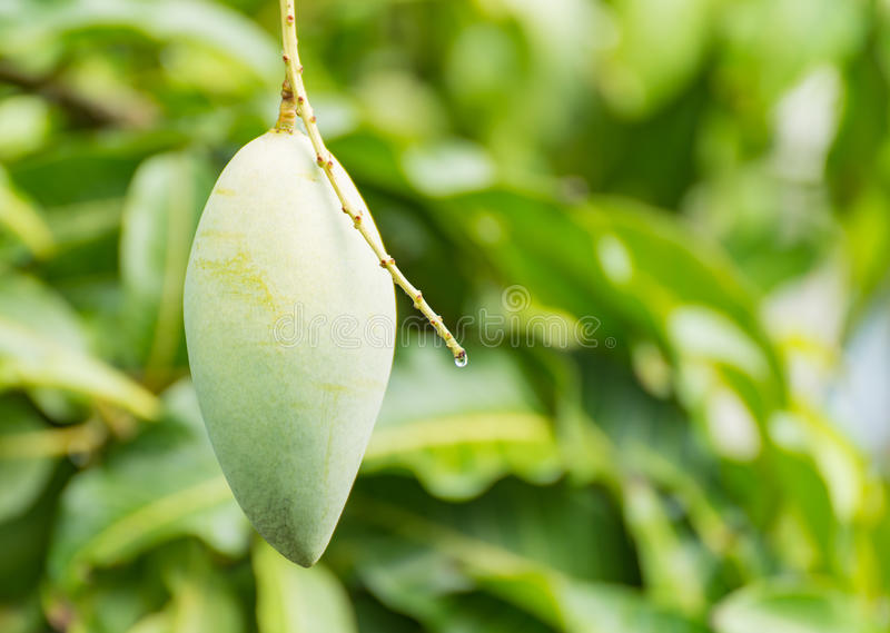 Grön barracudamango på träd royaltyfria bilder