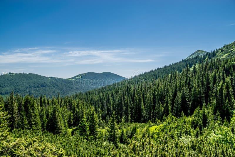 Grön barrskog i kullarna royaltyfri bild