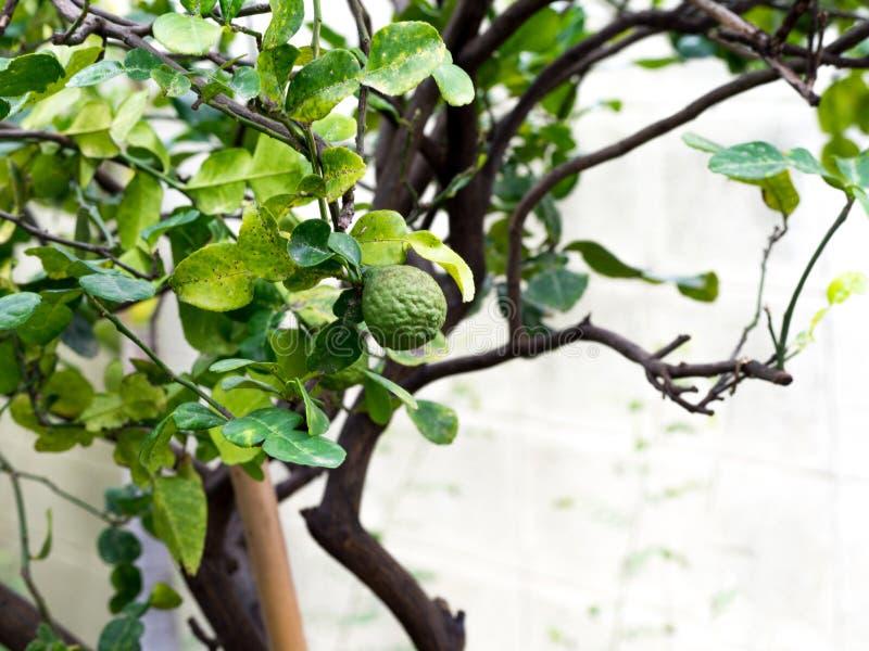 Grön bergamot för Closeup eller Kaffirlimefrukt på träd och bergamotträdet har en bladsjukdom royaltyfri foto