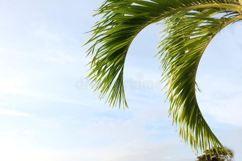 Grön betelpalmträd för blad royaltyfria foton