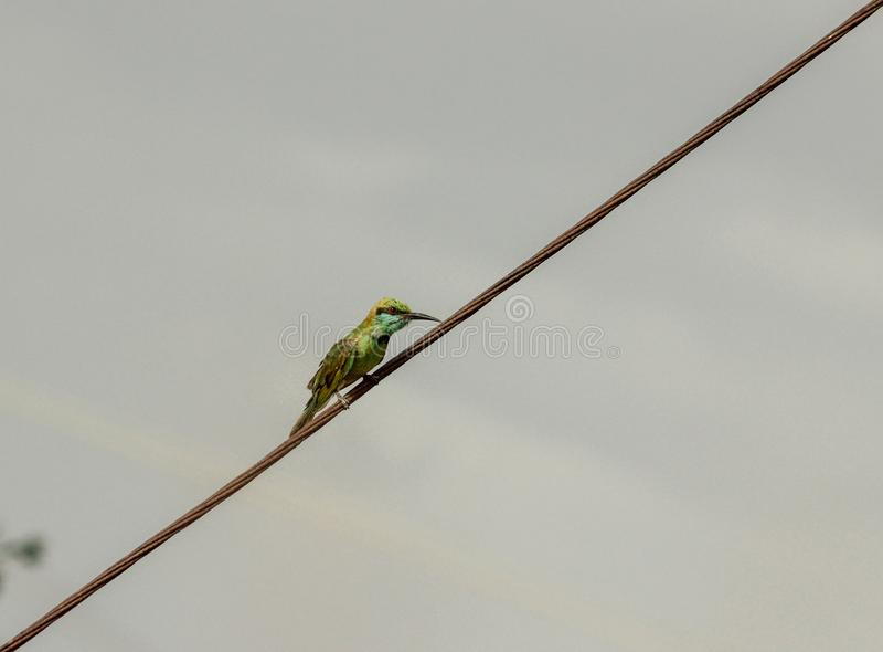 Grön biätare, liten fågel som farligt sätta sig på en elektrisk tråd som väntar för att fånga dess rov arkivfoto