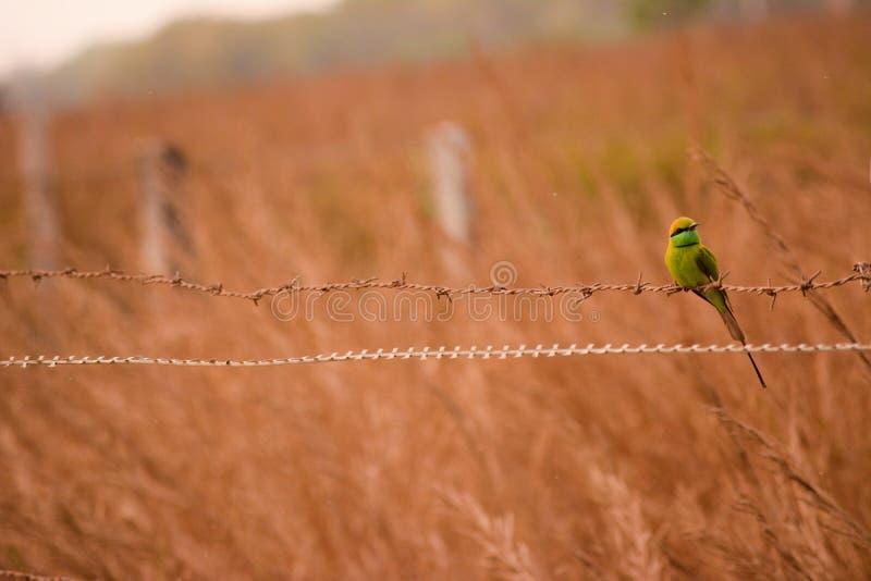 Grön bieater fotografering för bildbyråer