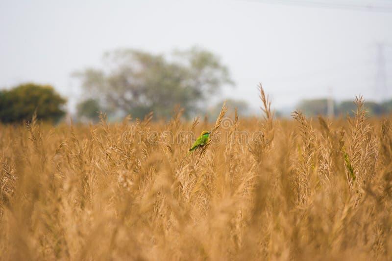 Grön bieater royaltyfria bilder