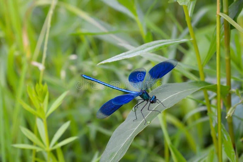 Grön blå slända på gräsbladet på den soliga sommardagen royaltyfri foto