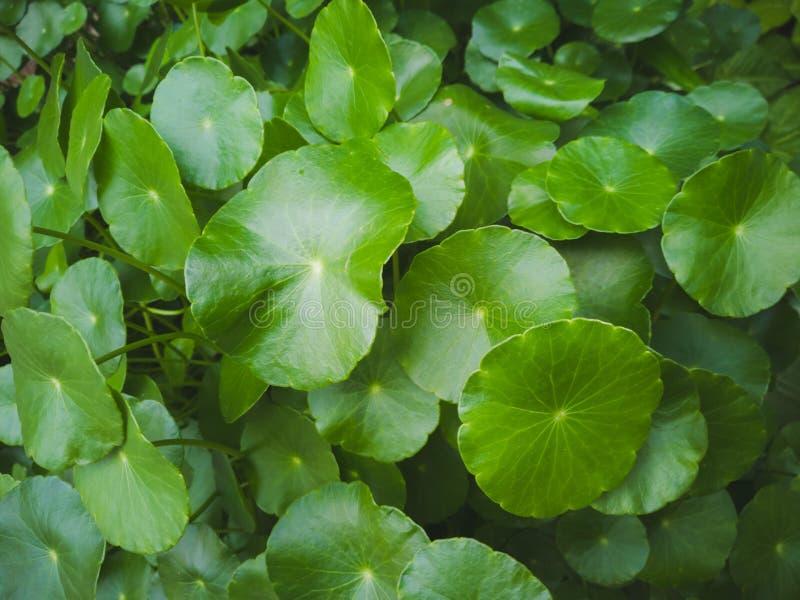 Grön bladbakgrund med många rundade sidor royaltyfri bild