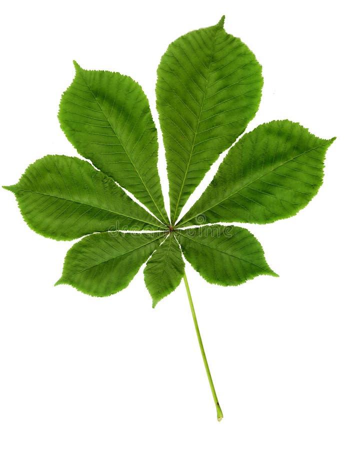 Grön bladkastanj på vit bakgrund med urklippbanan arkivfoto