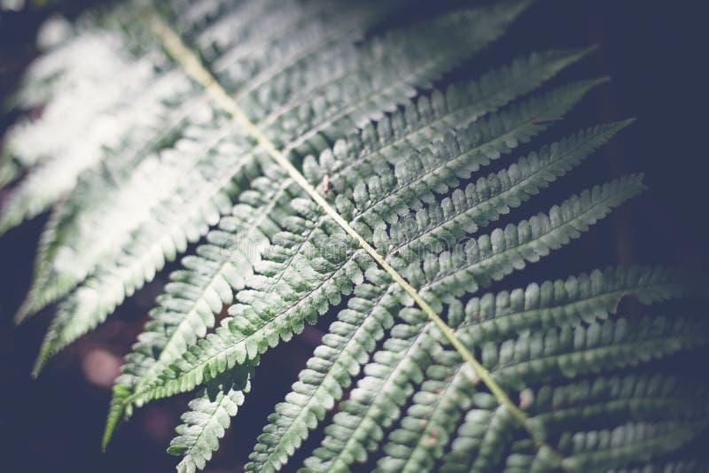 Grön bladormbunke, abstrakt naturlig bakgrund och textur i mörker arkivbild