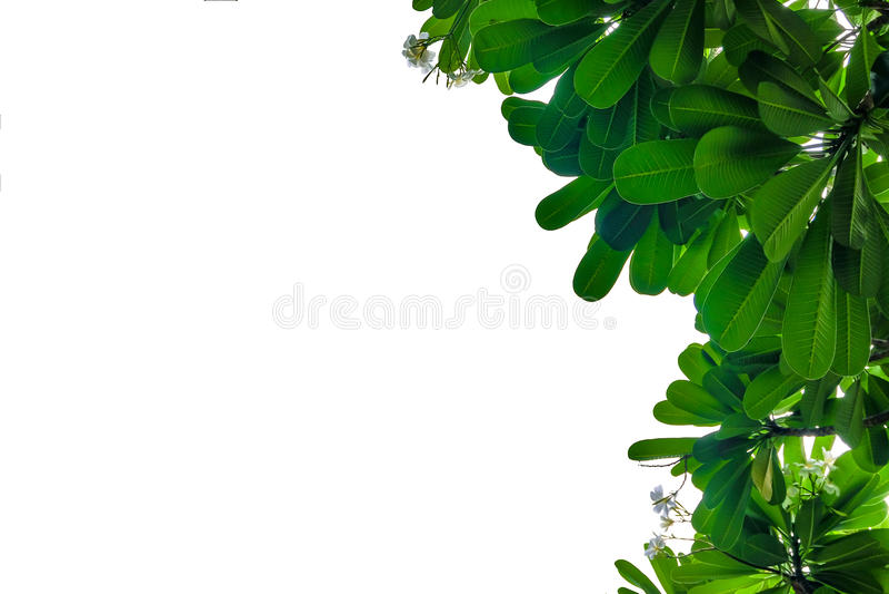 Grön bladram på vit bakgrund royaltyfri bild