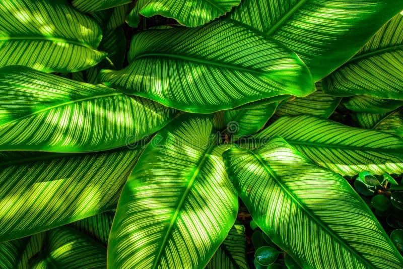 Grön bladtextur, modellsidor på mörker och ljus signal royaltyfri bild