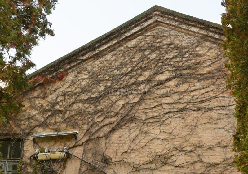 Grön bladväxt över grungeväggbakgrund royaltyfria foton