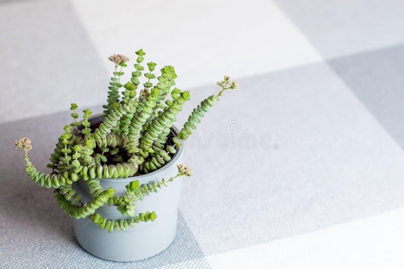Grön blomma, Crassula Nealeana, sällsynt suckulent växt i en grå kruka, copyspace royaltyfria bilder