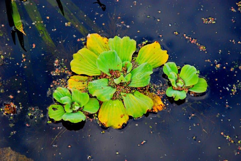 Grön blomma på blått vatten arkivfoton