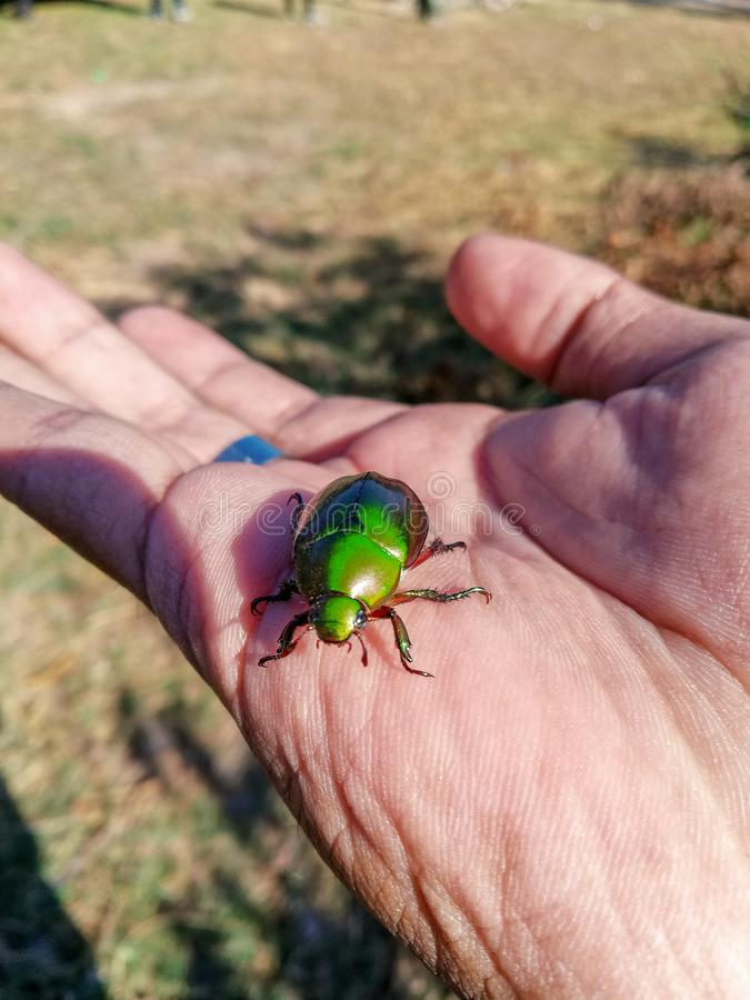 Grön Buprestidae juvelskalbagge, metallisk trä-borrning skalbagge, Sternocera aequisignata arkivfoto