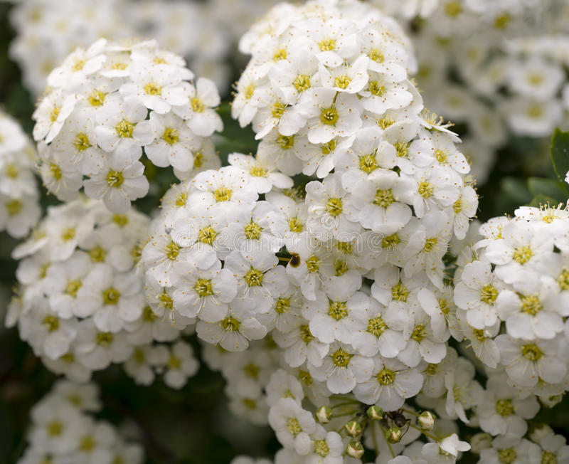 Grön buske med klungor av vita blommor arkivfoton