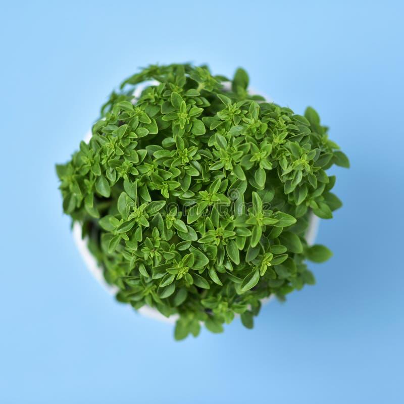 Grön buskebasilikaväxt i en växtkruka royaltyfria foton