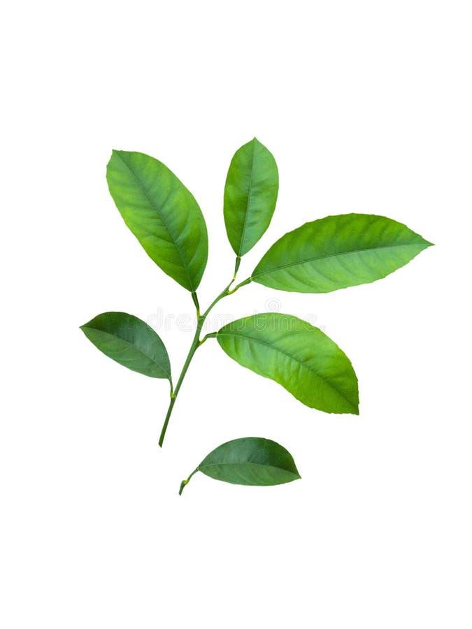 Grön citrusträdfilial med sidor som isoleras på vit bakgrund med den snabba banan arkivbilder