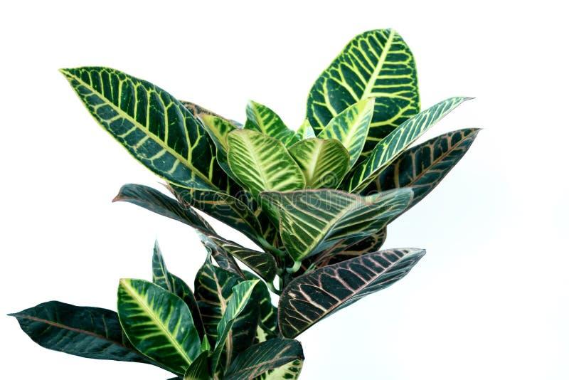 Grön crotonväxt som isoleras på vit bakgrund arkivfoto