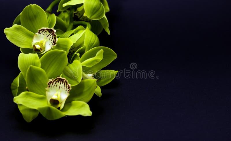 Grön Cymbidiumorkidé på en svart bakgrund royaltyfria foton