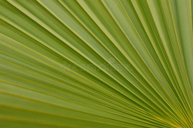 Grön diagonal palmblad royaltyfri foto