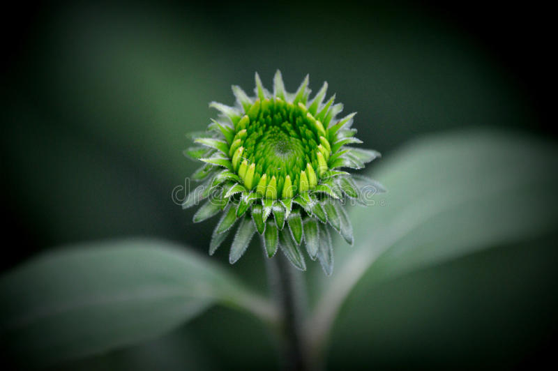 Grön Echinaceablommaknopp royaltyfri foto