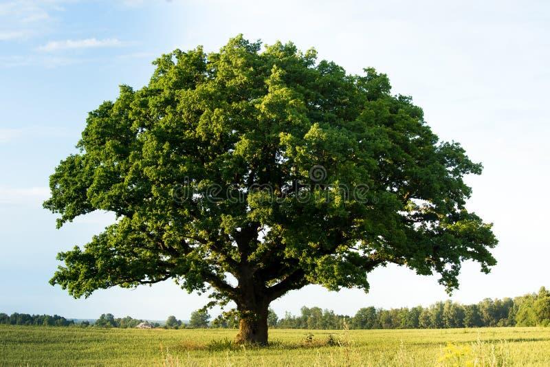 Grön ek i fältet royaltyfria bilder
