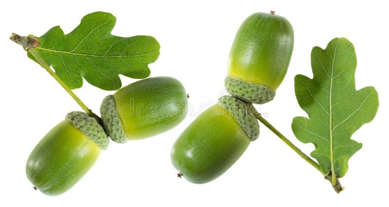 Grön ekollon med leafen royaltyfria bilder